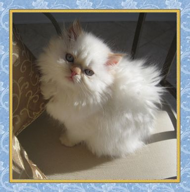 Khloe - Flame Point Himalayan