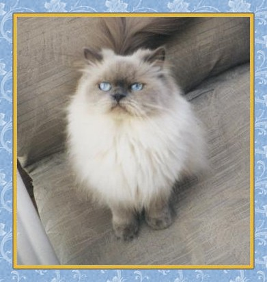 Adult himalayan cats for sale pics 178