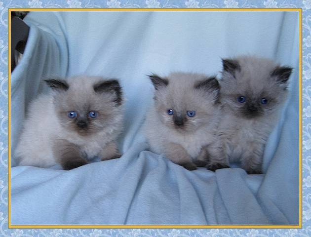 Seal Point Himalayan Kittens For Sale uk Seal Point Himalayan Kittens