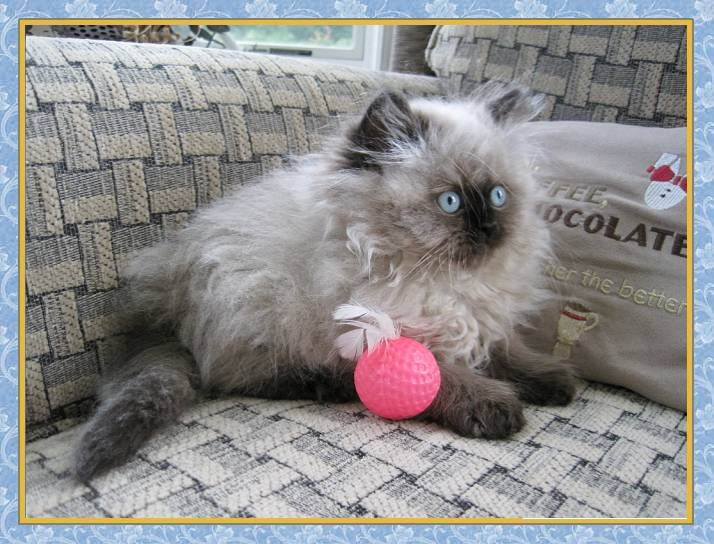 Seal Point Himalayan Kittens For Sale uk Himalayan Seal Point Kitten
