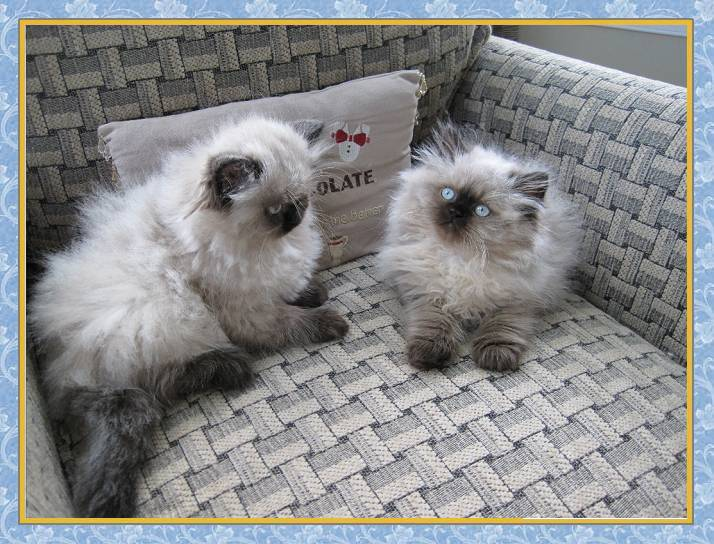 Himalayan seal point kittens