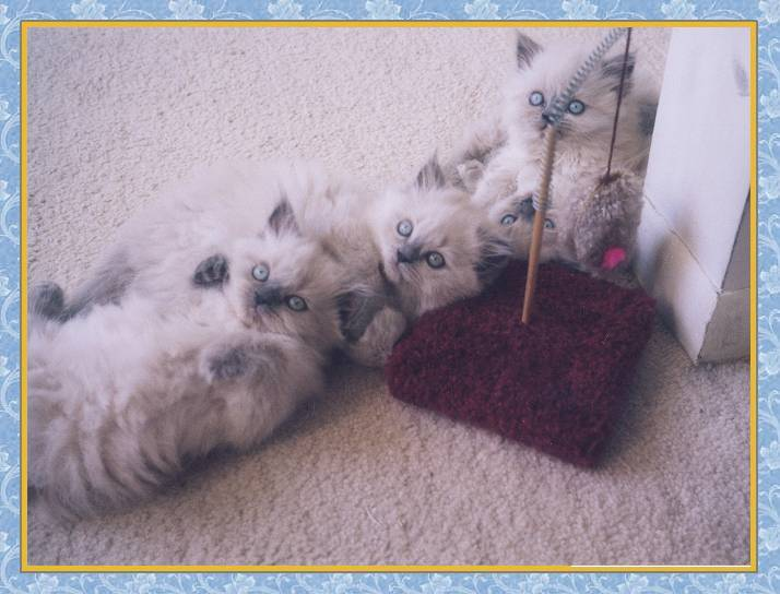 Himalayan blue point kittens