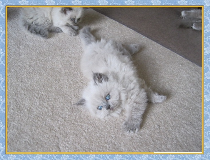 Seal tortie point himalayan kittens