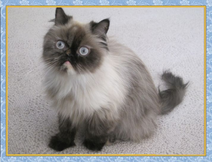 Himalayan Bluepoint 1 year old adult female