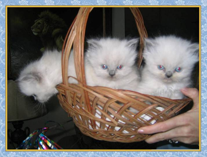 Himalayan kittens in a basket