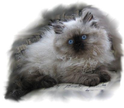 Birman Kittens For Sale Nj KaristaKats Cat...